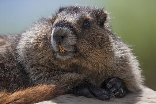 Yoho National Park「Hoary marmot (Marmota caligata), Yoho National Park」:スマホ壁紙(12)