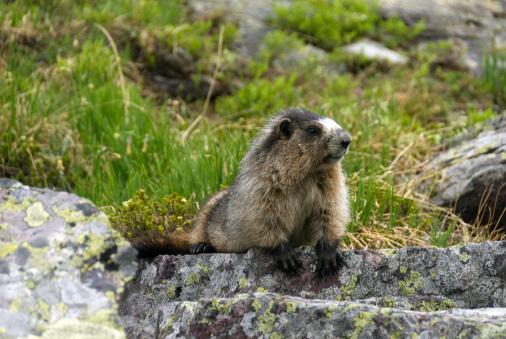 Yoho National Park「Hoary Marmot」:スマホ壁紙(9)