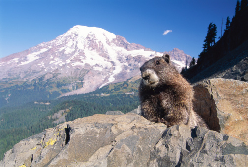 野生動物「Hoary marmot (Marmota caligata), Mt. Rainier, Washington, USA」:スマホ壁紙(1)
