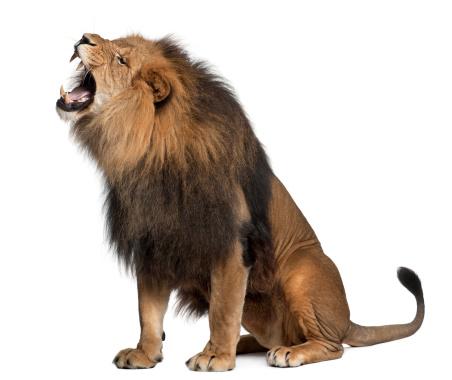 Roaring「Lion roaring」:スマホ壁紙(6)