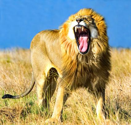 Males「Lion roaring, Mpumalanga, South Africa」:スマホ壁紙(6)