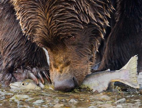 Katmai National Park「Bear with Salmon」:スマホ壁紙(12)