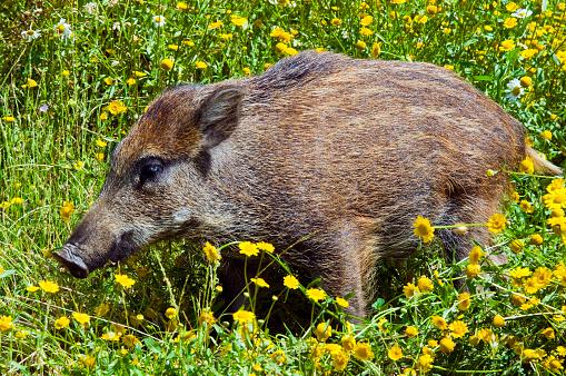 猪「Young Wild boar in a field」:スマホ壁紙(15)