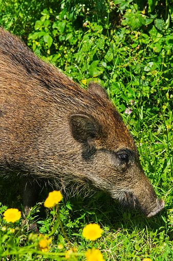 猪「Young Wild boar」:スマホ壁紙(16)