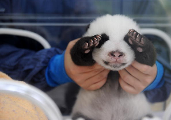 Bestof「Panda Twins Born At Protection And Research Centre In Yaan」:写真・画像(3)[壁紙.com]