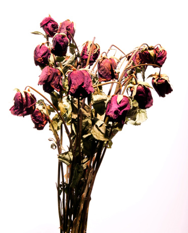 薔薇「A dozen dead red roses against a white background.」:スマホ壁紙(15)