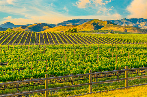 California「Spring vineyard in the Santa Ynez Valley Santa Barbara, CA」:スマホ壁紙(9)