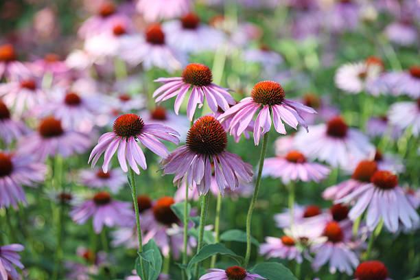 Purple Echinacea:スマホ壁紙(壁紙.com)