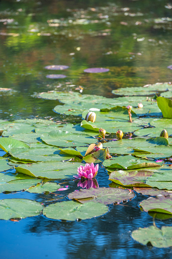 Water Lily「Monet's water garden in spring, Giverny, Normandy, France」:スマホ壁紙(13)