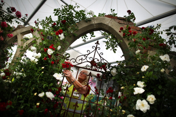薔薇「Preparation Ahead OF The Annual RHS Chelsea Flower」:写真・画像(13)[壁紙.com]