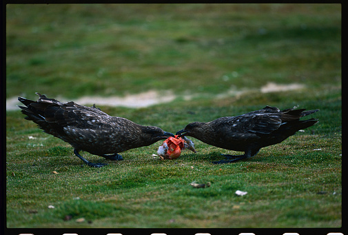 Falkland Islands「Falkland Skuas Fighting over a Penguin Chick」:スマホ壁紙(2)