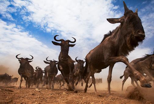 Horned「Eastern White-bearded Wildebeest herd on the move」:スマホ壁紙(12)