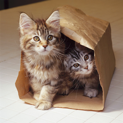 Purebred Cat「Two Maine Coon Kittens in Bag」:スマホ壁紙(2)
