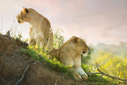 Lioness - Feline「Lions in Kruger Wildlife Reserve」:スマホ壁紙(16)