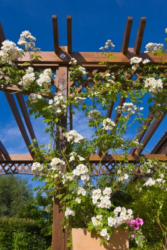 Hiking「Pergola with white rambling rose, Rambling Rector, England」:スマホ壁紙(2)