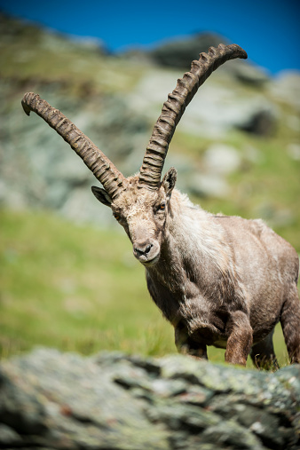 Goat「Austria, Grossglockner, Alpine Ibex, Capra ibex」:スマホ壁紙(12)