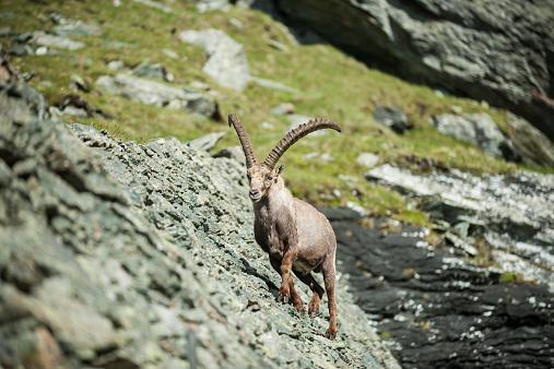 Horned「Austria, Grossglockner, Alpine Ibex, Capra ibex」:スマホ壁紙(3)
