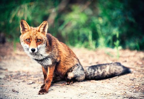 Fox「Fox On The Road」:スマホ壁紙(14)