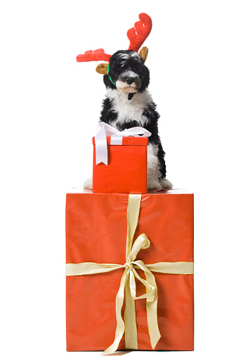 Horned「Puppy with reindeer horns sitting on gift box」:スマホ壁紙(16)