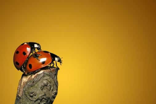 Ladybug「Loving each other Ladybugs」:スマホ壁紙(19)