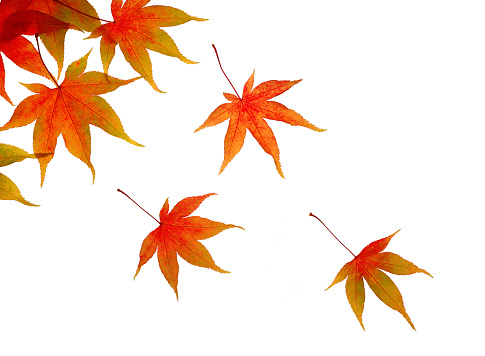 かえでの葉「Autumnal maple leaves floating across white.」:スマホ壁紙(19)