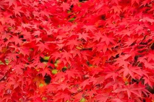 紅葉「Autumnal maple leaves in Hirosaki Park. Hirosaki, Aomori Prefecture, Japan」:スマホ壁紙(15)