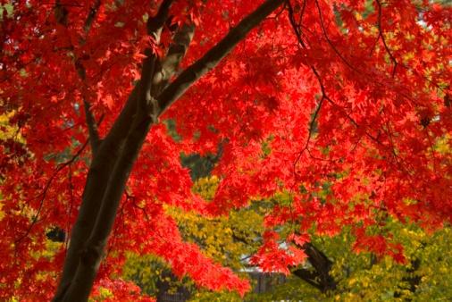 Japanese Maple「Autumnal maple trees in Hirosaki Park. Hirosaki, Aomori Prefecture, Japan」:スマホ壁紙(19)