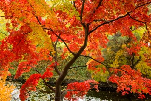 Japanese Maple「Autumnal maple trees in Hirosaki Park. Hirosaki, Aomori Prefecture, Japan」:スマホ壁紙(6)
