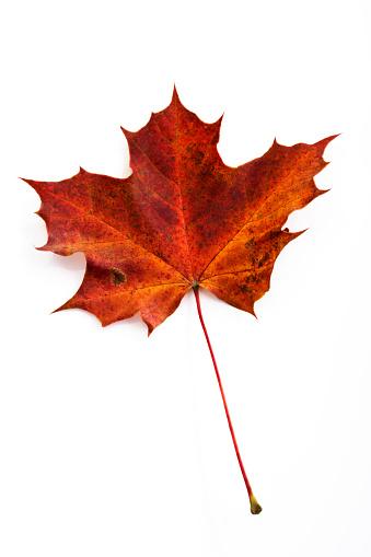 紅葉「Autumnal maple leaf in front of white ground」:スマホ壁紙(3)