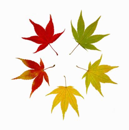 Japanese Maple「Autumnal maple leaves arranged to create a circle.」:スマホ壁紙(15)