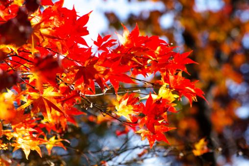カエデ「Autumnal Maple Leaves」:スマホ壁紙(10)