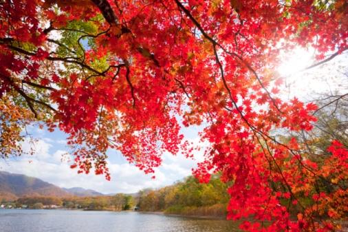 かえでの葉「Autumnal maple tree by a lake. Towada, Aomori Prefecture, Japan」:スマホ壁紙(12)