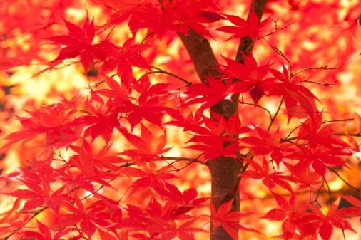 紅葉「Autumnal maple leaves. Aomori Prefecture, Japan」:スマホ壁紙(19)