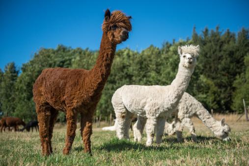 Medium Group Of Animals「Pack of alpaca」:スマホ壁紙(12)