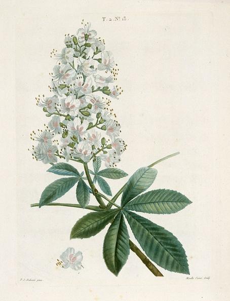Botany「Aesculus Hippocastorum」:写真・画像(6)[壁紙.com]