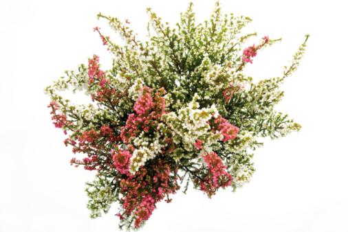 Wildflower「Cross-leaved heath (Erica tetralix)」:スマホ壁紙(15)
