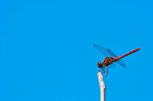 Dragonfly「Red dragonfly against a clear blue sky.」:スマホ壁紙(18)