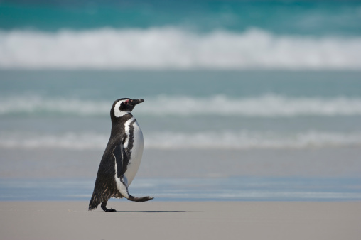 Magellan Penguin「Magellanic Penguin (Spheniscus magellanicus) walking on beach, Falkland Islands, South Atlantic Ocean」:スマホ壁紙(19)