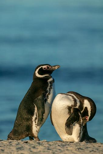 Falkland Islands「Magellanic Penguin (Spheniscus magellanicus)」:スマホ壁紙(17)