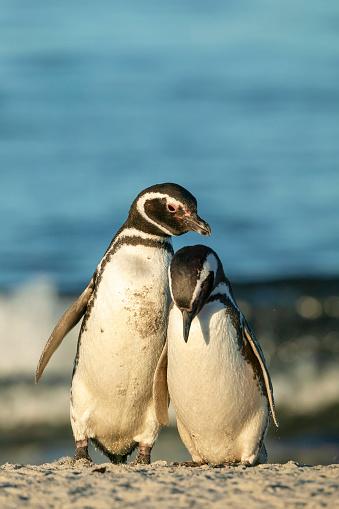 Falkland Islands「Magellanic Penguin (Spheniscus magellanicus)」:スマホ壁紙(16)