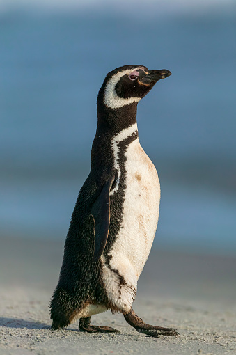 Falkland Islands「Magellanic penguin (Spheniscus magellanicus)」:スマホ壁紙(3)