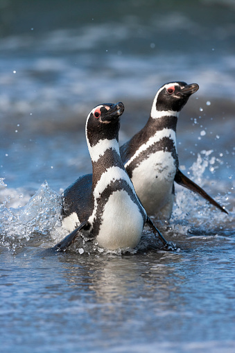 Falkland Islands「Magellanic penguin (Spheniscus magellanicus)」:スマホ壁紙(19)