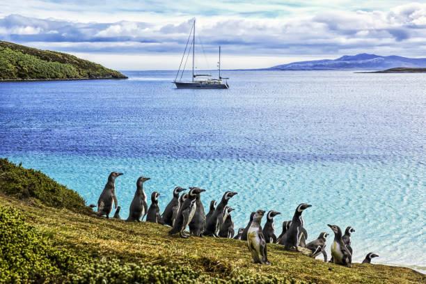 Magellanic penguins (Spheniscus magellanicus) on the shore of West Point Island:スマホ壁紙(壁紙.com)