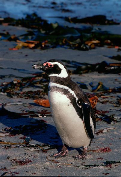 Sea Life「Magellanic Penguin, Sea Lion Island, Falkland Isles」:写真・画像(15)[壁紙.com]
