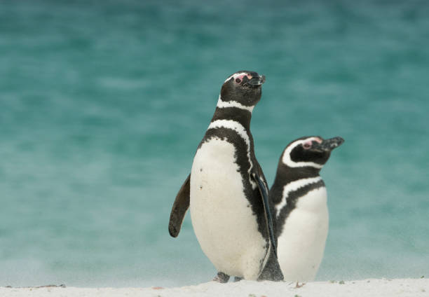 Magellanic Penguins on windy beach,Falkland Islands:スマホ壁紙(壁紙.com)