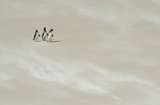 Falkland Islands「Magellanic Penguins on windy sand beach, Falkland Islands」:スマホ壁紙(11)