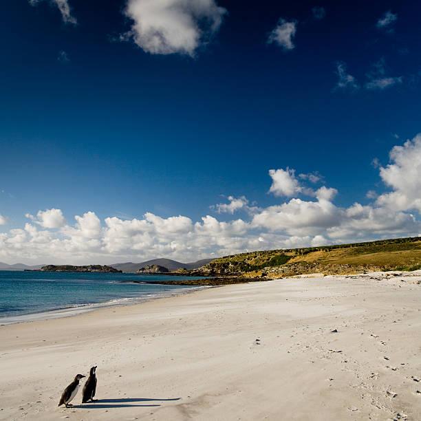 Magellanic Penguin Couple Falkland Islands:スマホ壁紙(壁紙.com)