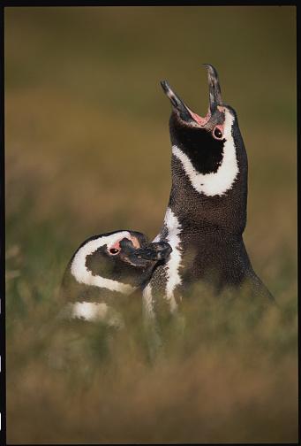 Falkland Islands「Magellanic Penguins」:スマホ壁紙(8)