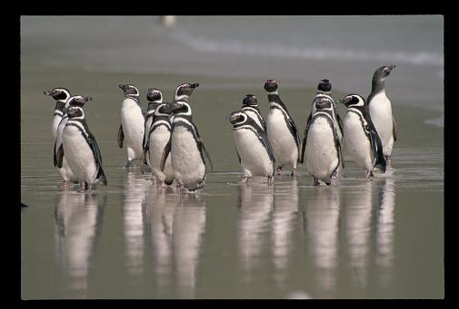 Falkland Islands「Magellanic Penguins」:スマホ壁紙(4)