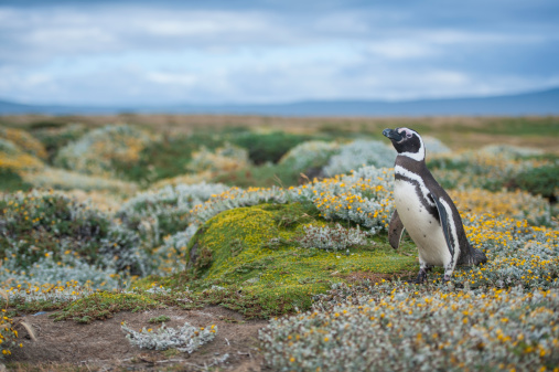 Magellan Penguin「Magellanic Penguin in Patagonia, Chile」:スマホ壁紙(5)
